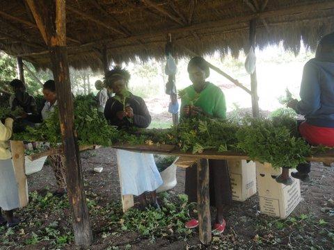 preparing cuttings