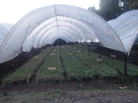 300,000 Rose geranium seedlings in the nursery