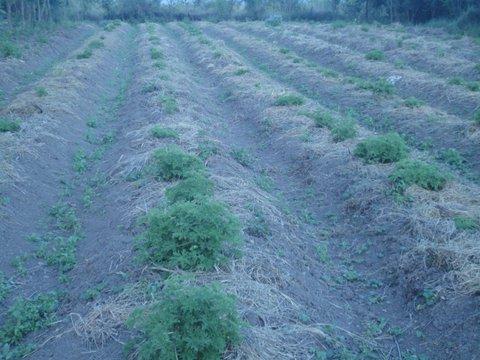Well mulched geranium for moisture retention