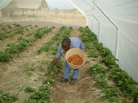 Straw berry mulched with grass for weed control